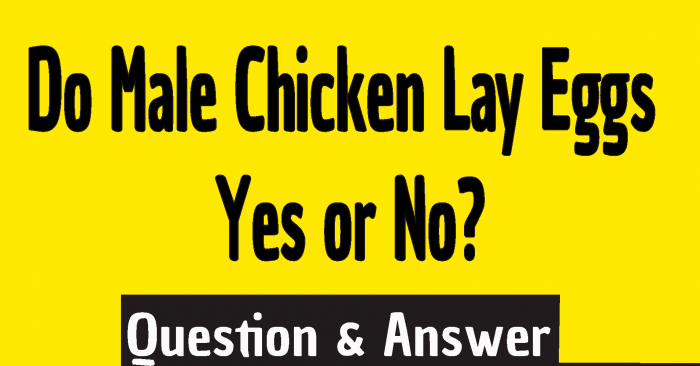 Do Male Chicken Lay Eggs, do chickens need roosters to lay eggs, do chickens or roosters lay eggs, do chickens have to have roosters to lay eggs, how do chickens lay eggs without a rooster